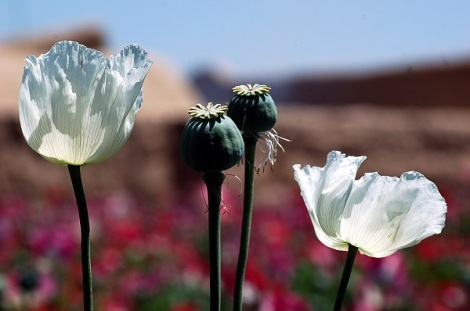 AFGHANISTAN-UNREST-POPPY